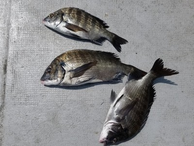 <p>大阪市の内田様、旧の一文字白灯で、チヌ 35cmまで3匹</p> <p>紀州釣り 餌コーン・サナギ</p>
