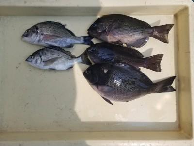 <p>奈良市の井澤様、沖の一文字北で、グレ 28cmまで3匹・チヌ 2匹</p> <p>フカセ釣り 餌オキアミ</p>