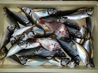 <p>岸和田市の白田様、沖の一文字北で、アジ 24cmまで27匹</p> <p>サビキ釣り 餌アミエビ</p>