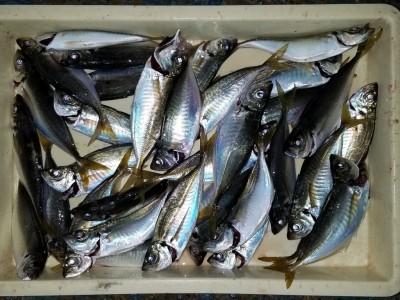 <p>岸和田市の白田様、沖の一文字北で、アジ 24cmまで33匹</p> <p>サビキ釣り 餌アミエビ</p>