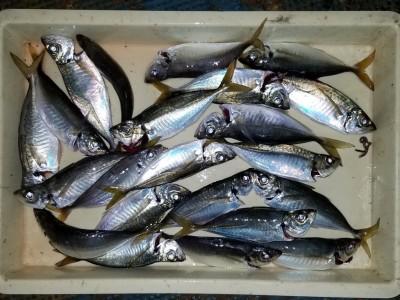 <p>岸和田市の山本様、沖の一文字北で、アジ 24cmまで22匹</p> <p>サビキ釣り 餌アミエビ</p>