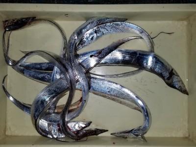 <p>和泉市の高橋様、沖の一文字北で、太刀魚 指3本まで7匹</p> <p>ワインド・引きずり(ドジョウ)</p>