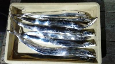<p>八尾市の目黒様、沖の一文字白灯で、太刀魚 指3本半まで8匹</p> <p>ウキ釣り 餌サンマ</p>