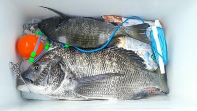 <p>河内長野市の近間様、旧の一文字白灯で、チヌ 45cmまで2匹</p> <p>紀州釣り 餌サナギ・コーン</p>