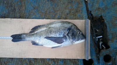 <p>香芝市の木下様、旧の一文字白灯で、チヌ 42cm 1匹</p> <p>紀州釣り 餌オキアミ</p>