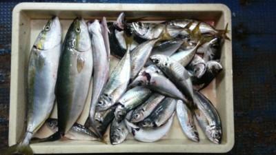 <p>貝塚市の津田様、沖の一文字北で、小アジ 60匹・アジ 24cmまで24匹・ウルメイワシ 80匹・ハマチ 45cmまで2匹・サゴシ 45cm 1匹</p> <p>サビキ釣り 餌アミエビ</p>