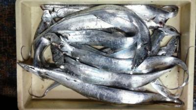 <p>大東市の大川様、沖の一文字白灯で、太刀魚 指3本半まで15匹</p> <p>引きずり 餌ドジョウ</p>