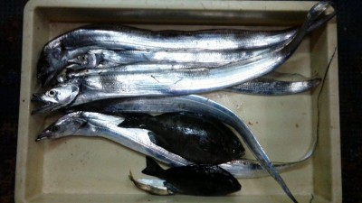 <p>枚方市の石井様、沖の一文字白灯で、太刀魚 指3本半まで6匹・グレ 23cmまで2匹</p> <p>太刀魚(ウキ釣り・サンマ)グレ(フカセ釣り・青イソメ)</p>