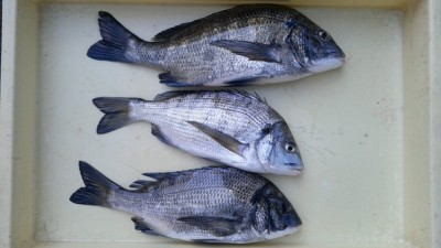 <p>大東市の有働様、旧の一文字カーブで、チヌ 37.5cmまで3匹</p> <p>紀州釣り 餌コーン・ボケ</p>