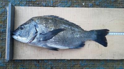<p>奈良の北様、旧の一文字白灯で、チヌ 40.5cmまで3匹</p> <p>フカセ釣り 餌コーン・サナギ</p>