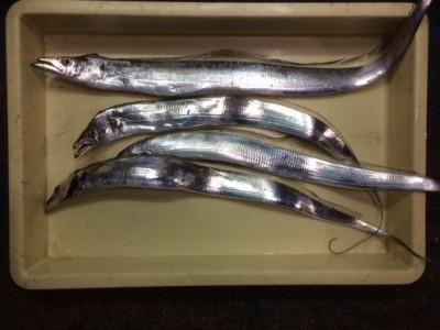 <p>枚方市の石井様、沖の一文字白灯で、太刀魚 4匹</p> <p>ウキ釣り 餌キビナゴ</p>
