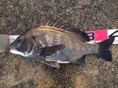 <p>堺市の岡田様、沖の一文字北で、チヌ 43cm 1匹</p> <p>フカセ釣り 餌コーン・サナギ</p>