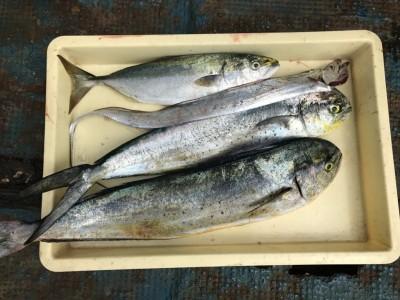 <p>マックス岸和田店の池田様、沖一文字北で</p> <p>シイラ70cmまで2匹・ツバス、太刀魚</p> <p>メタルジグ</p>