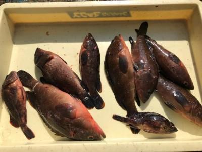<p>奈良市の川原様、沖一文字北で</p> <p>アコウ30cmまで7匹・ガシラ2匹</p> <p>エビ撒き釣り</p>