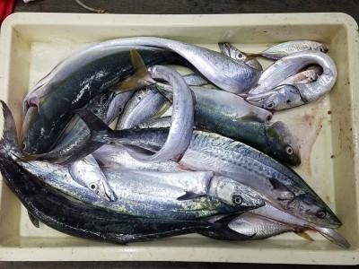 <p>大阪市の鮒子田様、沖の一文字北で、サゴシ 53cmまで3匹・ツバス 48cmまで2匹・太刀魚 指3本半まで4匹</p> <p>ルアー(メタルジグ)</p>