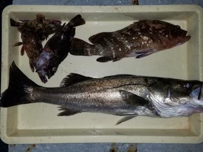 <p>岸和田市の田中様、旧の一文字赤灯で、アコウ 39cm 1匹・スズキ 62cm 1匹・ガシラ 3匹</p> <p>ウキ釣り 餌シラサエビ</p>