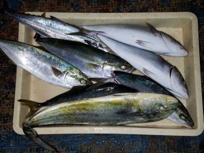 <p>柏原市の中越様、沖の一文字北で、ハマチ 45cmまで6匹・サゴシ 45cm 1匹・シイラ 62cm 1匹</p> <p>のませ釣り 餌アジ</p>