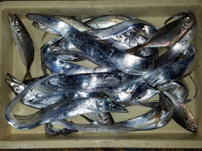 <p>忠岡町の前田様、旧の一文字赤灯で、アジ 24.5cmまで7匹・太刀魚 指3本まで10匹</p> <p>アジ(サビキ釣り・アミエビ)太刀魚(ウキ釣り・キビナゴ)</p>
