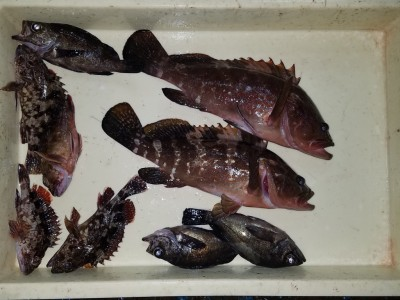 <p>貝塚市の津田様、沖の一文字北で、アコウ 33cmまで2匹・メバル 3匹・ガシラ 5匹</p> <p>ウキ釣り 餌シラサエビ</p>