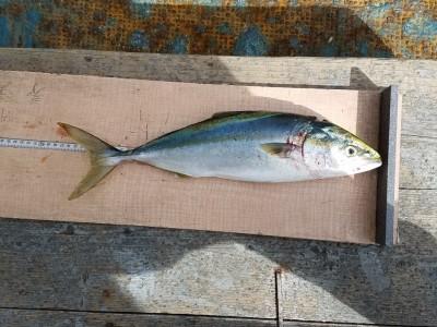 <p>松原市の中島様、沖の一文字白灯で、ハマチ 47cm 1匹</p> <p>のませ釣り 餌アジ</p>