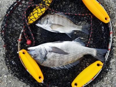 <p>桜井市の梶田様、中波止2番で、チヌ 38cmまで2匹・キビレ 30㎝まで22匹</p> <p>紀州釣り 餌オキアミ・コーン</p>