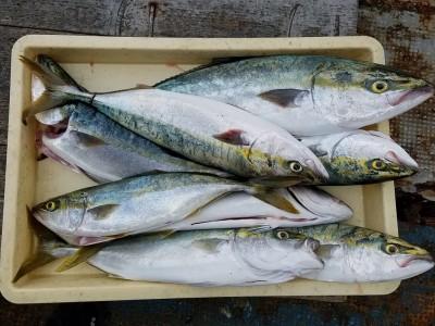 <p>富田林市の富田林のおっちゃん、沖の一文字北で、メジロ 63cmまで8匹</p> <p>のませ釣り 餌アジ</p>