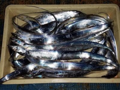 <p>堺市の岡田様、旧の一文字3番で、太刀魚 指3本半まで16匹</p> <p>引きずり 餌ドジョウ・サンマ</p>