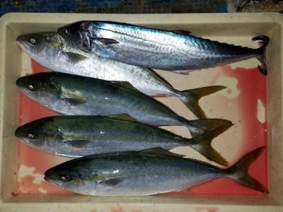 <p>柏原市の中越様、沖の一文字北で、ハマチ 47cmまで4匹・サゴシ 50cm 1匹</p> <p>のませ釣り 餌アジ</p>