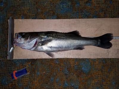 <p>熊取町の田中様、旧の一文字赤灯で、スズキ 55cm 1匹</p> <p>のませ釣り 餌アジ</p>