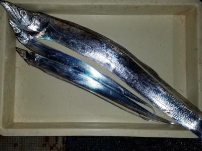 <p>堺市の岡田様、旧の一文字赤灯で、太刀魚 指5本まで3匹</p> <p>引きずり 餌ドジョウ</p>