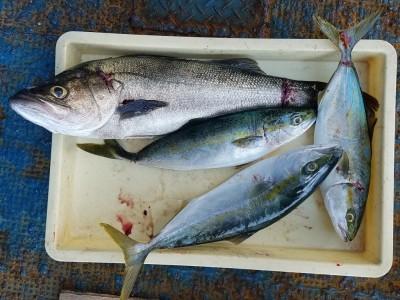 <p>大阪市の丸山様、沖の一文字北で、スズキ 65cm 1匹・ハマチ 48cmまで3匹</p> <p>のませ釣り 餌アジ</p>