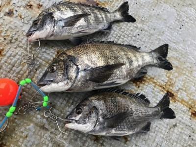 <p>河内長野市の近間様、旧一文字白灯で</p> <p>チヌ40cmまで3匹</p> <p>紀州釣り(オキアミ)</p>