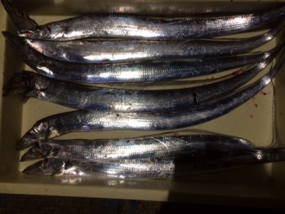 <p>貝塚市の橋本様、沖の一文字北で、太刀魚 指3本まで7匹</p> <p>ゲッター 餌青キビナゴ</p>