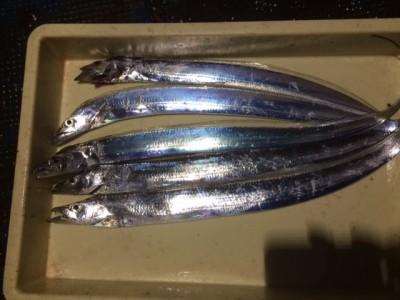 <p>泉佐野市の岡田様、旧の一文字2番で、太刀魚 指3本まで5匹</p> <p>引きずり 餌サンマ</p>