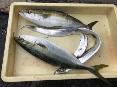 <p>和泉市の吉村様、沖一文字北で</p> <p>ハマチ48cm2匹・タチウオ3匹</p> <p>のませ釣り(活けアジ)</p>