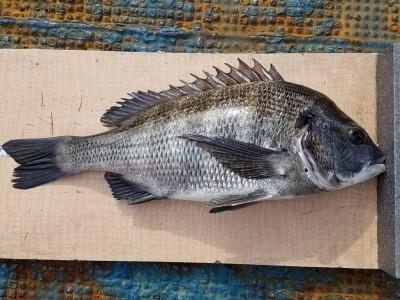 <p>大阪市の早田様、旧の一文字2番で、チヌ 40cm 1匹</p> <p>紀州釣り 餌オキアミ</p>