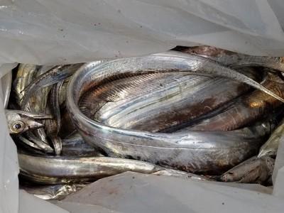 <p>松原市の田村様、沖の一文字北で、太刀魚 指4本まで40匹</p> <p>ルアー・ジグ</p>