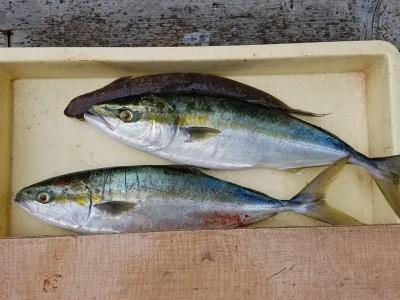 <p>岸和田市の前田様、沖の一文字北で、ハマチ 48cmまで2匹</p> <p>のませ釣り 餌アジ</p>