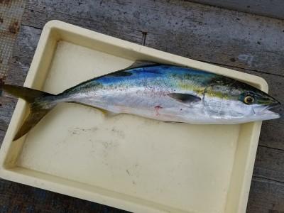 <p>吹田市の林様、沖の一文字北で、メジロ 70cm 1匹・ハマチ 50cmまで3匹</p> <p>のませ釣り 餌アジ</p>