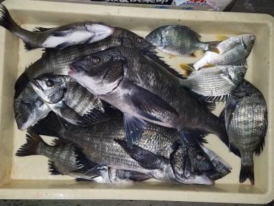 <p>堺市のK様、中波止2番で、チヌ・キビレ 45cmまで13匹</p> <p>紀州釣り 餌オキアミ</p>