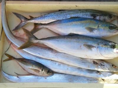 <p>堺市の中島彪我くん、沖の一文字北で、太刀魚 指4本まで3匹・サゴシ 52cm 1匹・ツバス 45cmまで2匹</p> <p>ルアー(バイブレーション)</p>