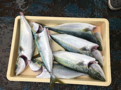 <p>岸和田市の田所様、沖一文字北で</p> <p>ハマチ50cmまで6匹</p> <p>のませ釣り(活けアジ)</p>