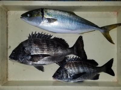 <p>堺市の善ちゃん、中波止2番で、チヌ 37cmまで3匹・ツバス 48cm 1匹</p> <p>フカセ釣り 餌オキアミ</p>