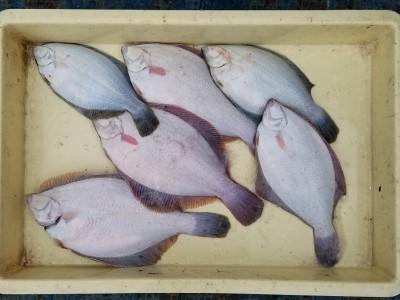 <p>泉大津市の森様、沖の一文字北で、カレイ 32cmまで7匹</p> <p>投げ釣り 餌青イソメ</p>