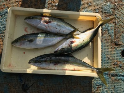 <p>奈良市の川原様、旧一文字赤灯で</p> <p>ハマチ50cmまで4匹</p> <p>エビ撒き釣り</p>