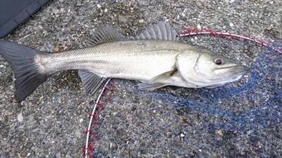 <p>4/12の釣果です。</p> <p>フィッシングマックス二色の浜店の山中くん</p> <p>中波止3番北にてハネゲット♪15時からの釣行</p>