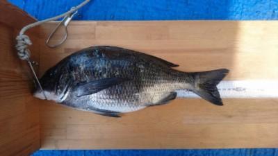 <p>濱本様 沖の北内向き フカセ釣りにて チヌ38.0cm</p> <p>ヒットタイムは11時頃 タナは底との事</p> <p>もちろんハネ・チヌダービーエントリーです。ありがとうございます!</p>