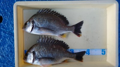 <p>沖中様 中波止 エビ撒き釣り キビレ39cmを筆頭に2匹GET!</p> <p>綺麗な魚体のキビレでした!おめでとうございます。</p>