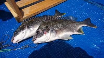 <p>梨田様 中波止3番北 エビ撒き釣り</p> <p>ハネ55.5cmまでを2匹 &amp; キビレ40.5cmまでを2匹と見事な釣果です!</p> <p>今回もハネ・チヌダービーにエントリー致します。ありがとうございます。</p>