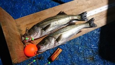 <p>宮田様 沖の北 エビ撒き釣り ハネ~48.5cm 2匹 雨後の初釣果です!ハネは元気ですよ♪</p>